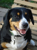 Happy Entlebucher Mountain Dog