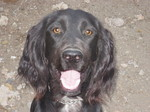 Happy Field Spaniel dog