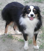 Happy Miniature Australian Shepherd
