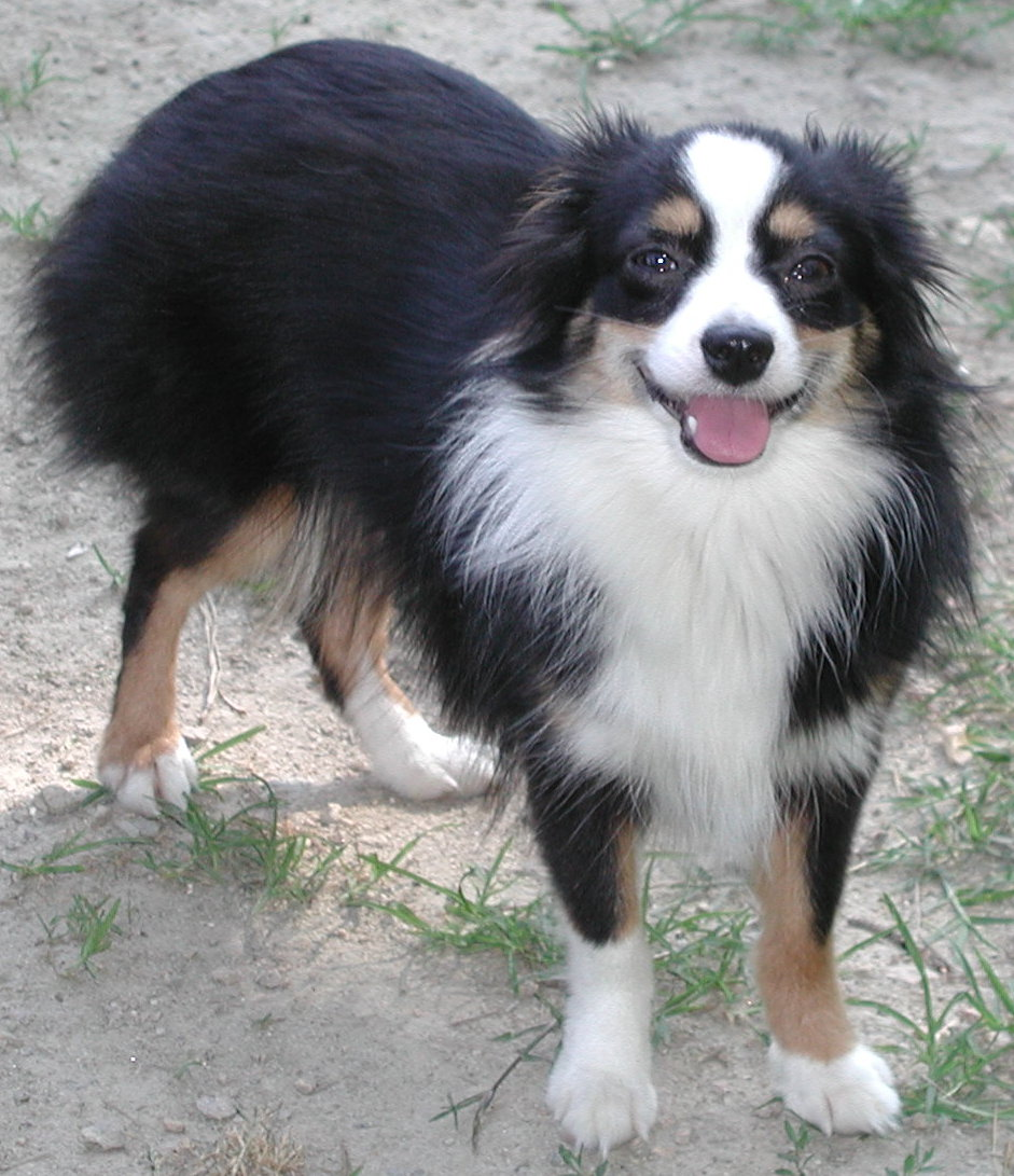 ... photos happy miniature australian shepherd in your blog or use forum