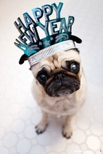 Happy New Year Pug dog