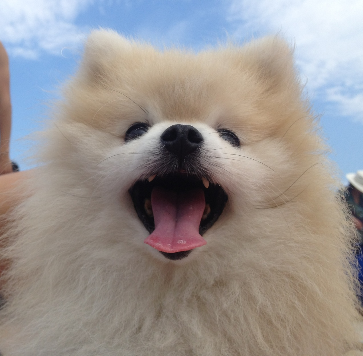 Happy Pomeranian dog  wallpaper