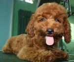 Happy Poodle dog