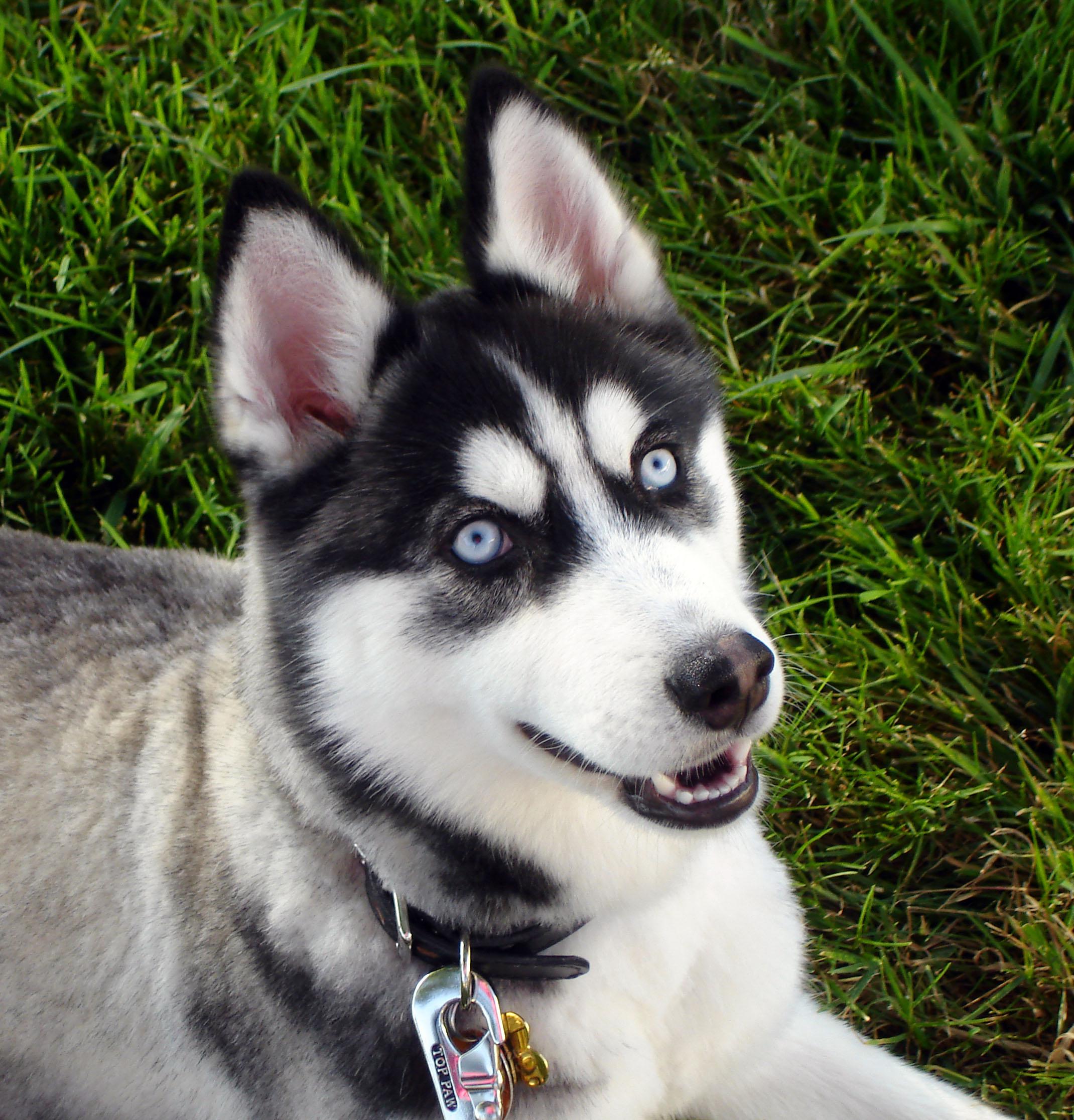 Happy Siberian Husky dog wallpaper