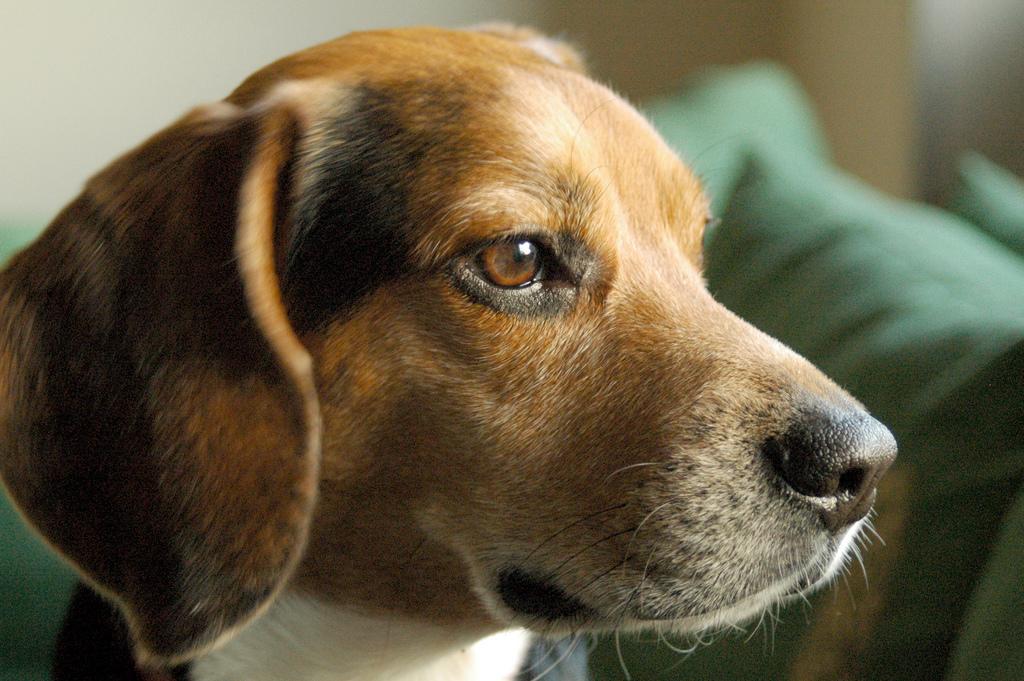 Морда собаки харьер фото