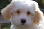Havanese dog face