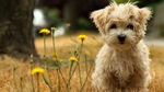 Havanese dog in flowers