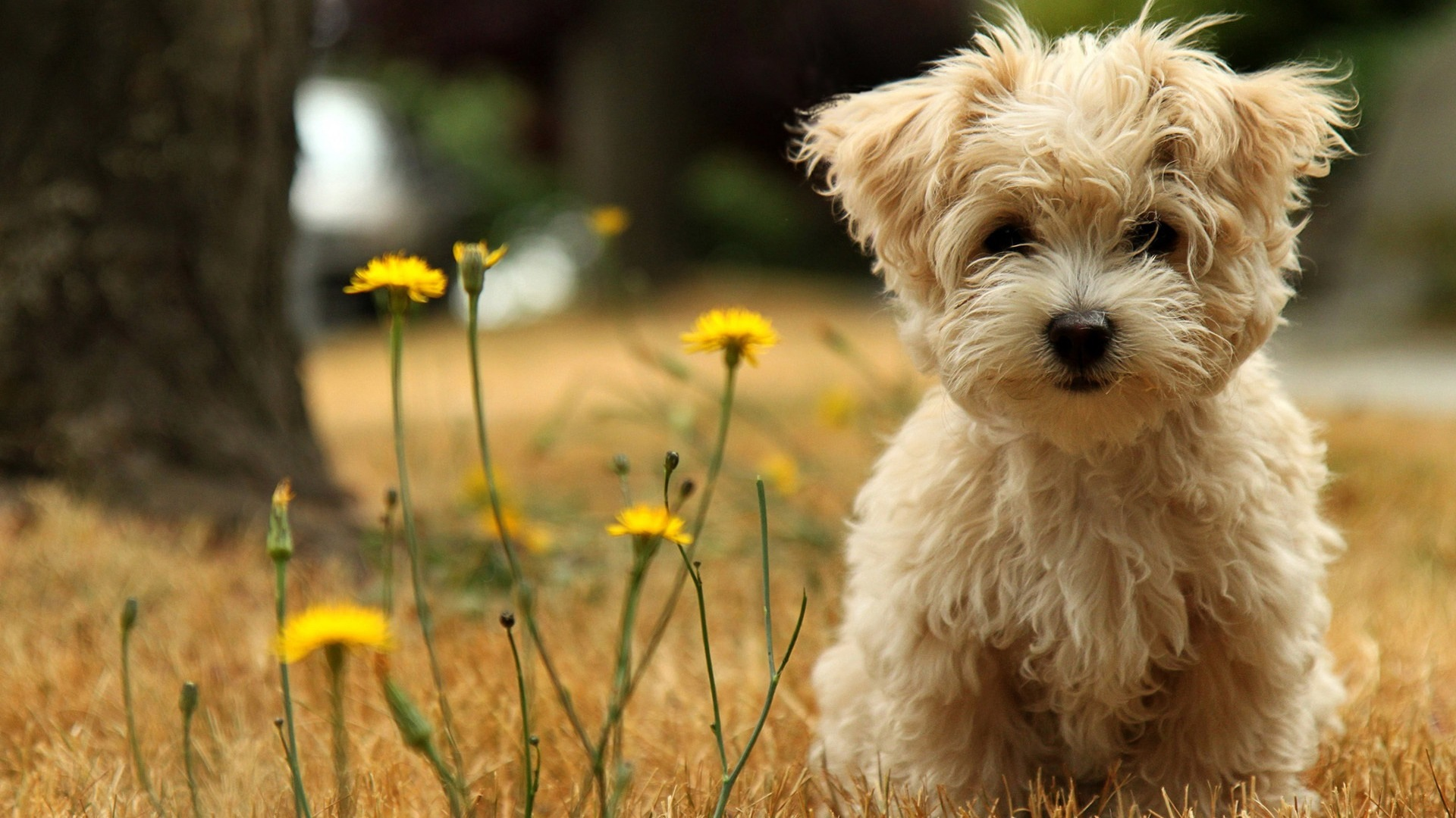 Havanese dog in flowers wallpaper