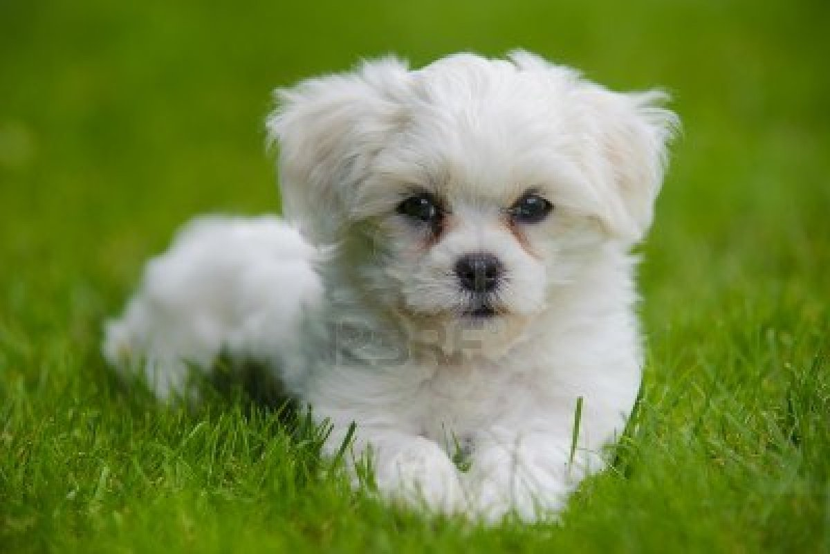 Havanese dog on the grass wallpaper