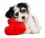 Havanese dog with big heart
