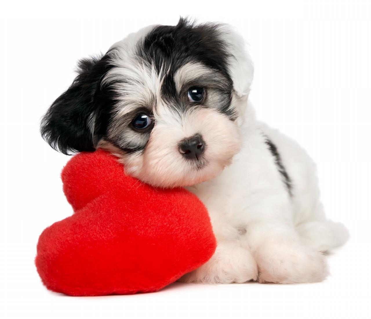 Havanese dog with big heart фото