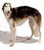 Hortaya Borzaya dog portrait