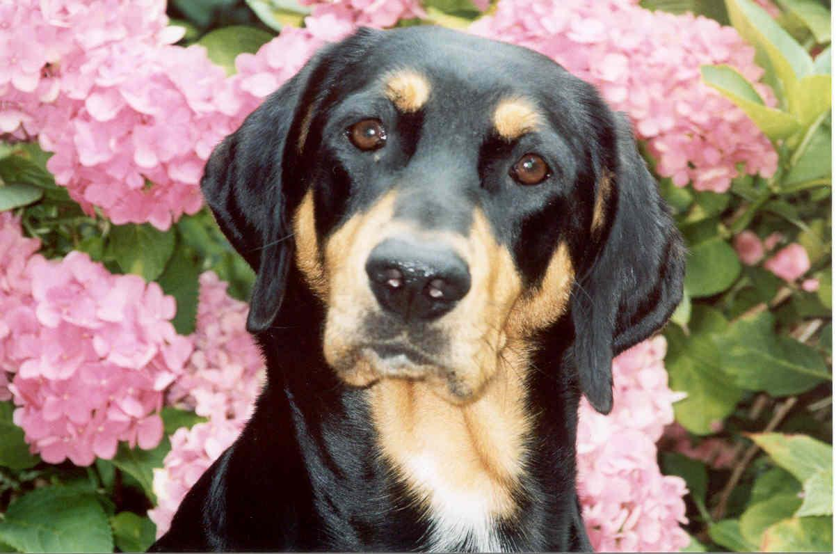 Hungarian Hound in flowers wallpaper