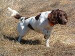 Hunting Drentse Patrijshond dog