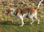 Hunting English Foxhound dog