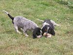 Hunting Griffon Bleu de Gascogne dogs