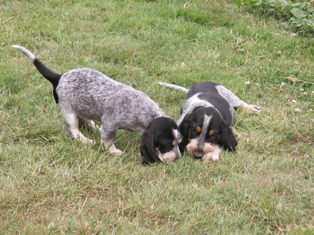 Hunting Griffon Bleu de Gascogne dogs  wallpaper