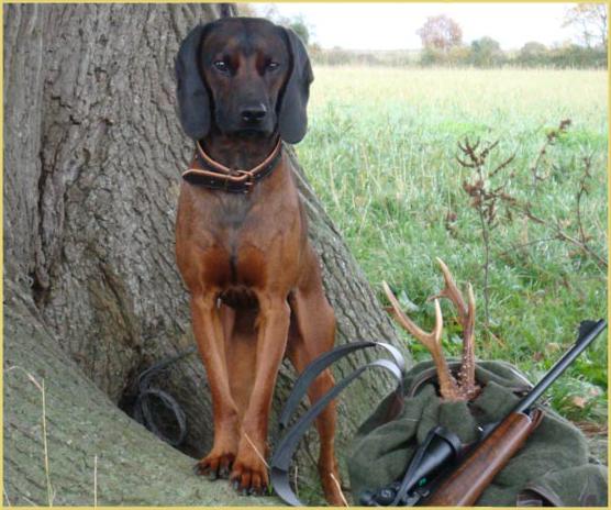 Hunting Hanover Hound dog  wallpaper