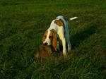 Hunting Schweizer Laufhund