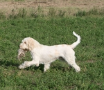 Hunting Spinone Italiano dog
