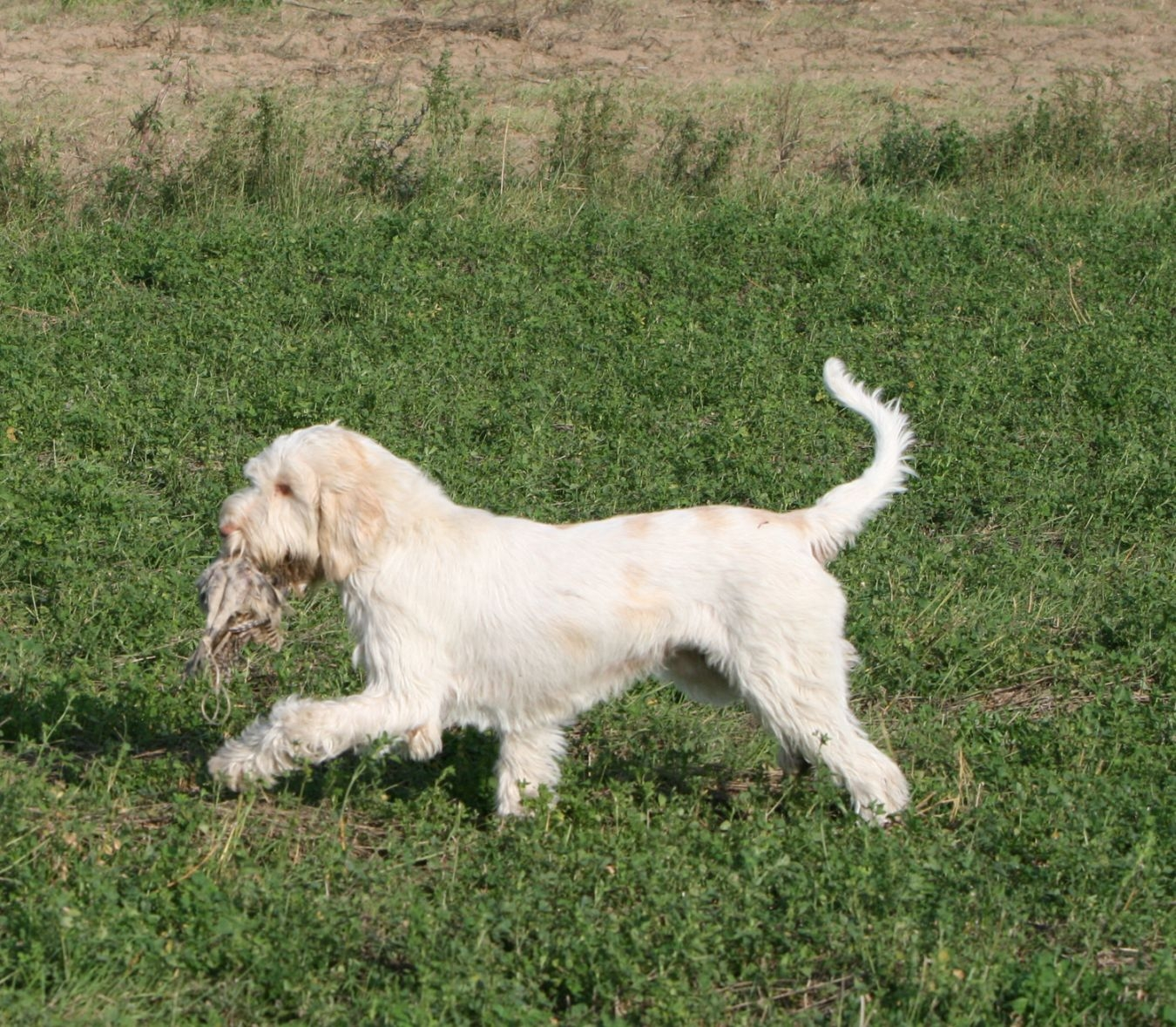 Hunting Spinone Italiano dog wallpaper