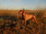 Hunting Vizsla dog