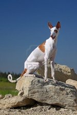 Ibizan Hound dog on the mountain