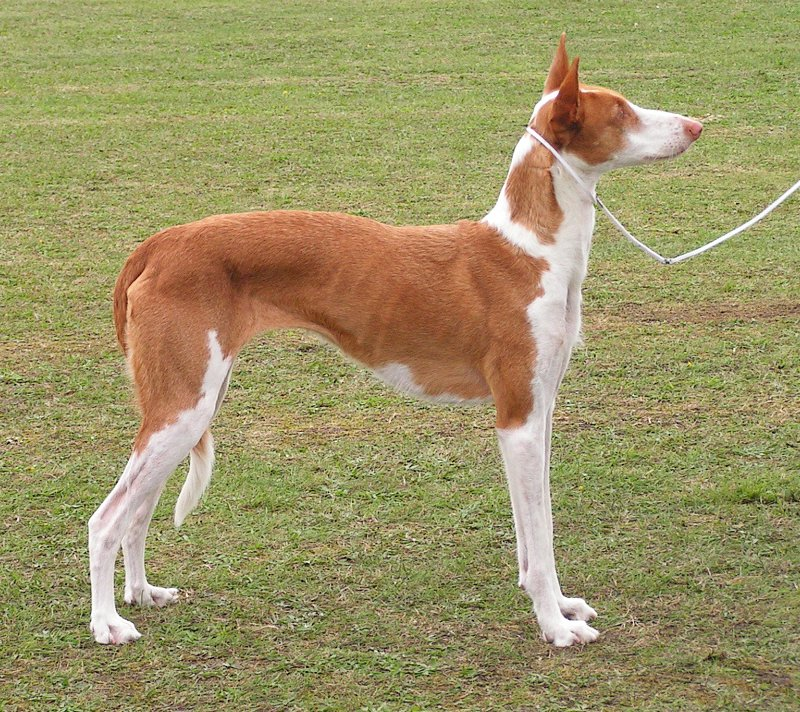 Ibizan Hound wallpaper