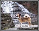Icelandic Sheepdog dog near the water