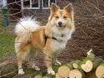 Icelandic Sheepdog dog