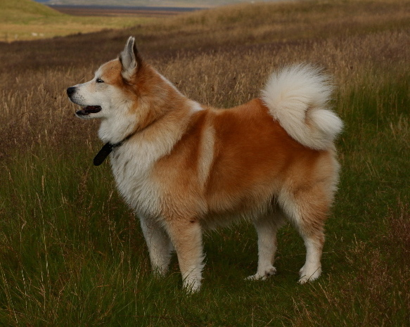 Icelandic Sheepdog wallpaper