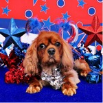 Independence Day Cavalier King Charles Spaniel