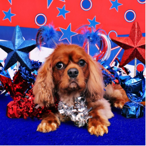 Independence Day Cavalier King Charles Spaniel фото