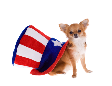 Independence Day Chihuahua and hat фото