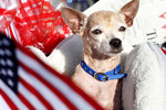 Independence Day Chihuahua