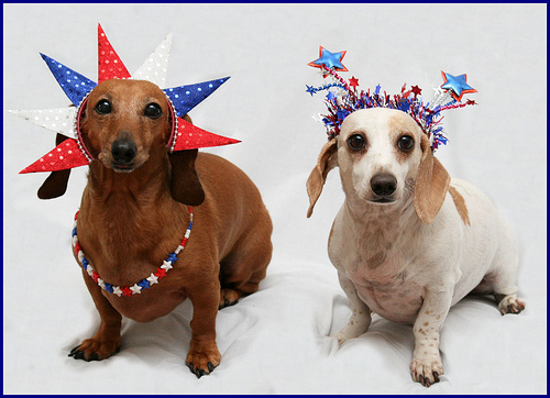Independence Day Dachshund dogs portrait фото