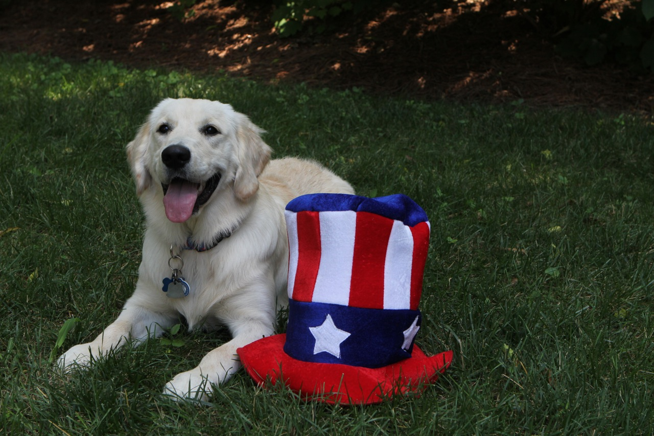 Independence Day Golden Retriever wallpaper