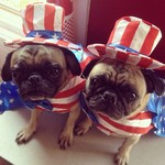 Independence Day Pug dogs