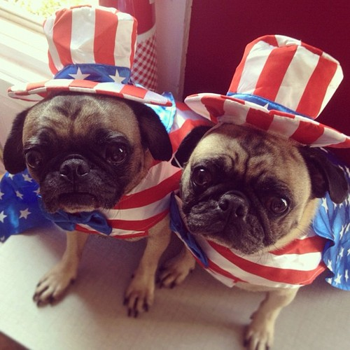 Independence Day Pug dogs фото