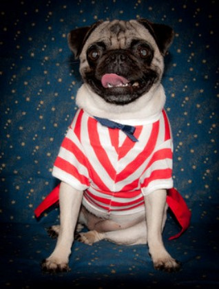 Independence Day Pug portrait фото
