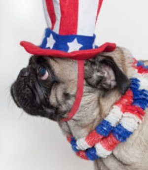 Independence Day Pug side view фото