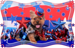 Independence Day Yorkshire Terrier portrait