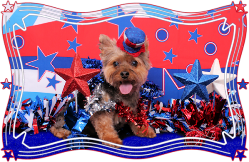 Independence Day Yorkshire Terrier portrait wallpaper