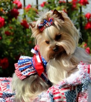 Independence Day Yorkshire Terrier wallpaper