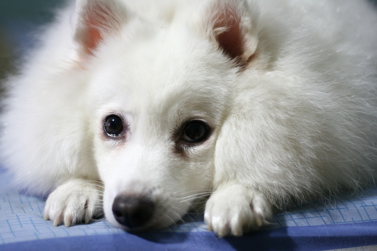 Indian Spitz dog face  wallpaper