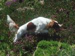 Irish Red and White Setter dog in the field