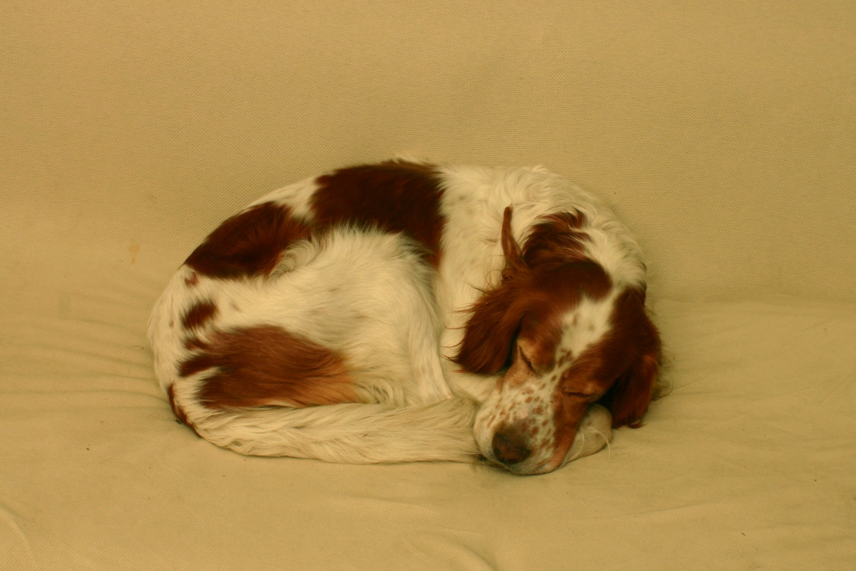 Irish Red and White Setter dog wallpaper