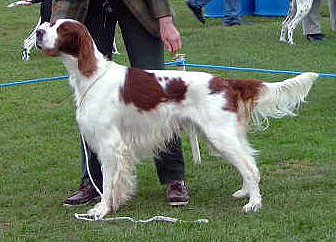 Irish Red and White Setter wallpaper