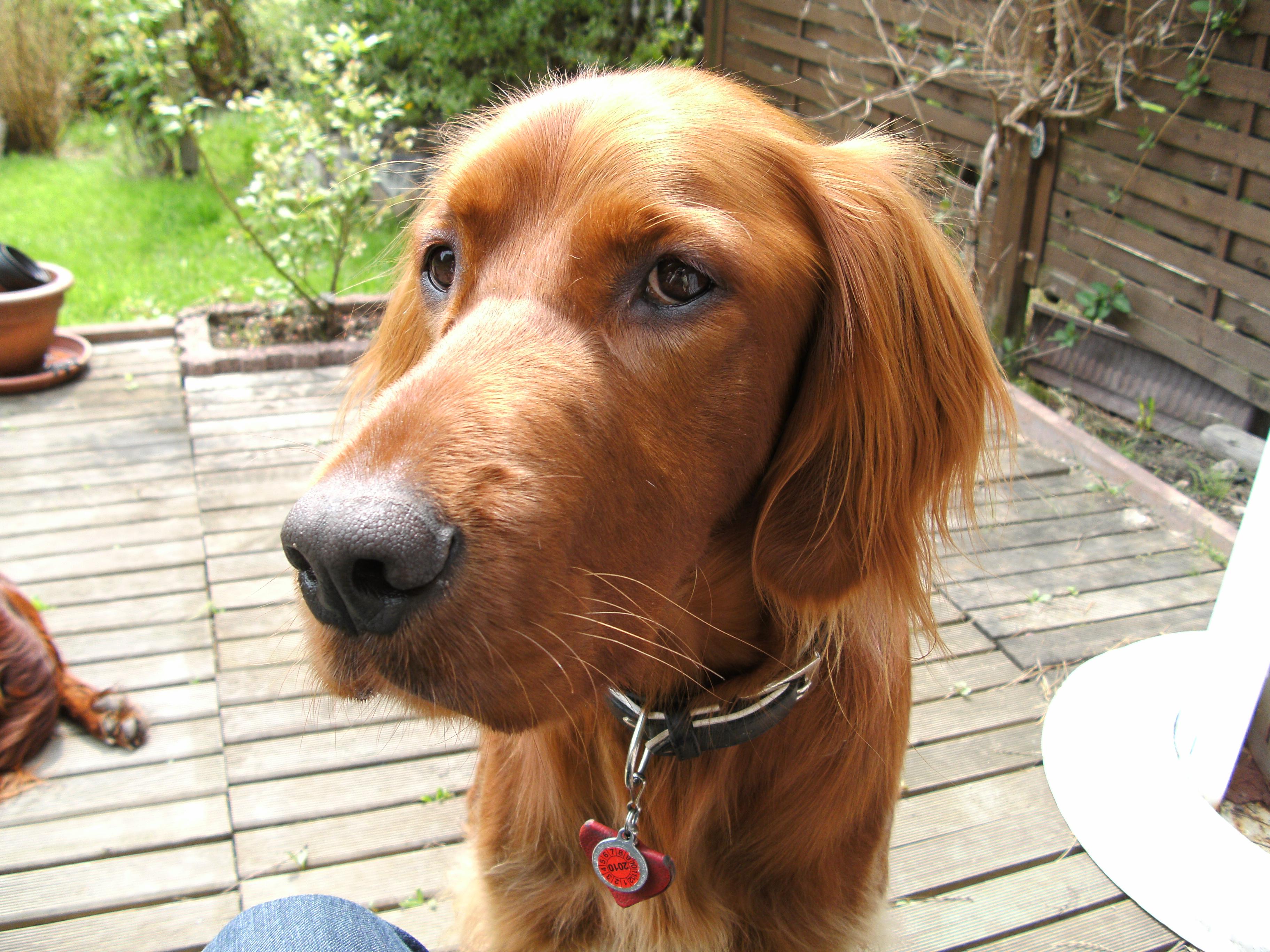 Irish Setter dog face wallpaper