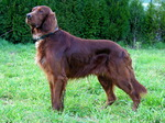 Irish Setter dog on the grass